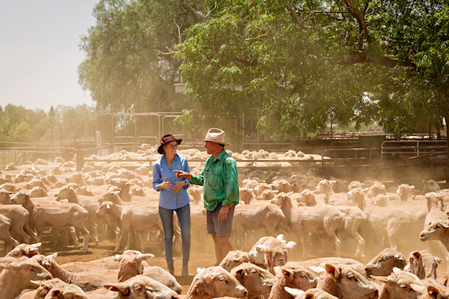 Steph Cooke and a farmer stand in the middle of a mob of sheep in yards. The sheep are freshly shorn and are raising dust.