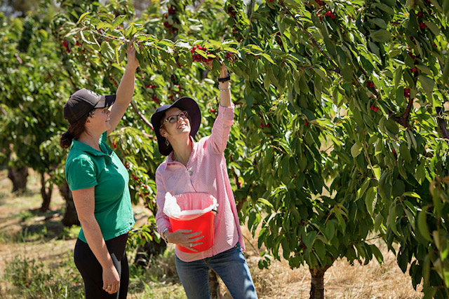 Steph Cooke in a cherry orchard.