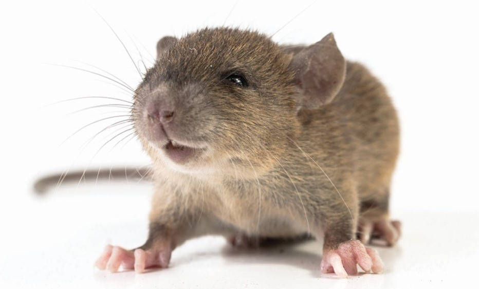 Close up photo of a mouse